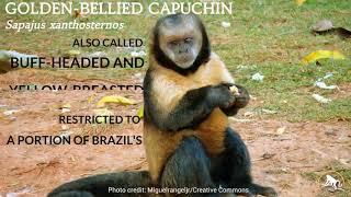 Golden-bellied capuchin