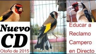 CD Jilguero Reclamo Campero Para Educar Capturas Otoñales(Audio Y Video En Directo)
