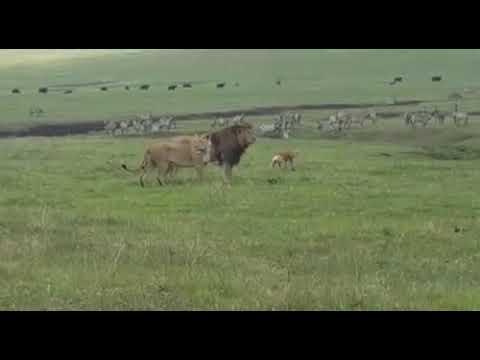 В Танзании пес не побоялся и напал на львов