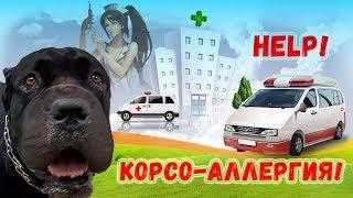 Собака Кане Корсо Деррек в больнице.#canecorso