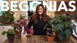 Indoor Begonia Care Guide 🌿// Garden Answer
