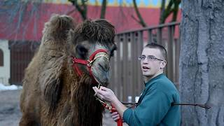 Watch Bactrian camels fed at Rosamond Gifford Zoo