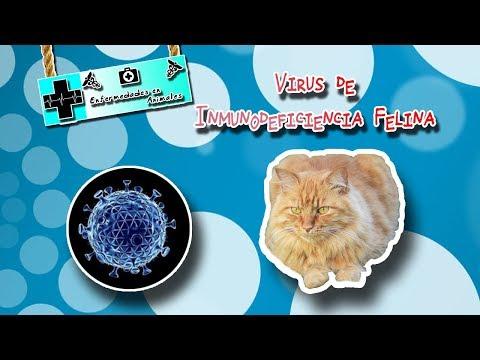 Virus de inmunodeficiencia felina (El SIDA felino) |Enfermedades de los animales|