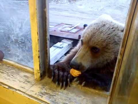 Chú gấu tấn công vào nhà dân để ... xin bánh