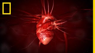 Heart 101   National Geographic