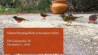 Painted Bunting flock at broadcast white millet with special guests Chipping Sparrows and more