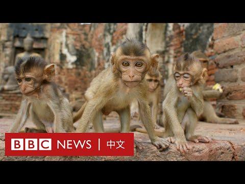因疫情沒有遊客餵食的泰國猴子竟然瘋狂繁殖