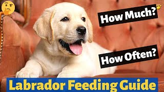 How much and How Often you should Feed your Labrador Puppy? (Labrador Feeding Guide)
