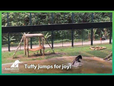 Freed from a bile farm, moon bear Tuffy jumps for joy