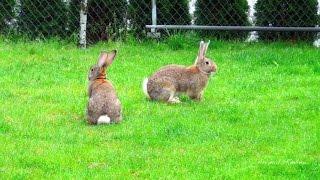Породы кроликов с графиями