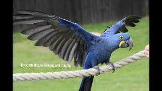 Hyacinth Macaw Dancing and Singing