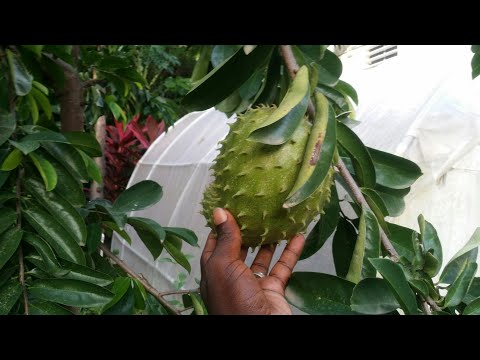 WOW! Amazing Agriculture Technology - Sugar Apple & Soursop
