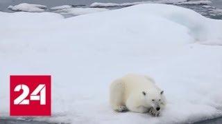 В Камчатском крае спасают белого медведя по прозвищу Умка - Россия 24