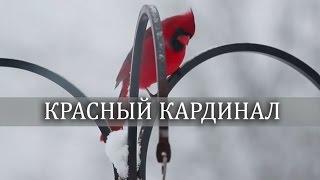 ВЛОГ : снежная зима и во дворе  красивые птицы - Кардиналы  ♥  LifeinsideUSA