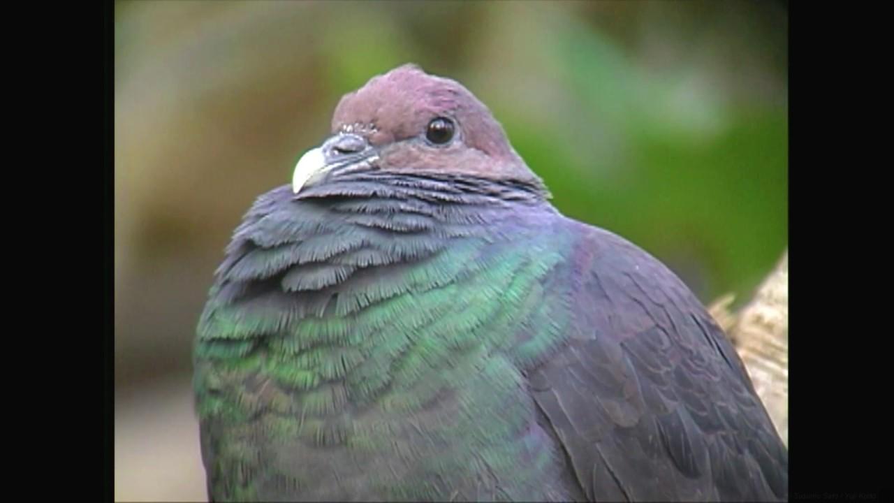 Crow Pidgeon - Columba janthina