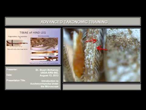 Auchenorrhyncha under the microscope – introduction