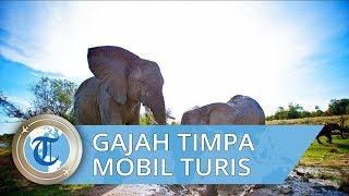 Video Viral di Medsos, Momen Mengerikan Gajah Mau Tiduran Timpa Mobil Turis di Thailand