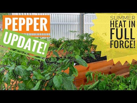 , title : 'PEPPER PLANTS UPDATE 2019 EP7