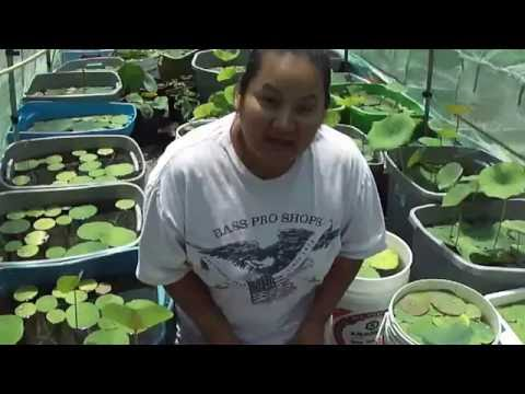 How to fertilize water lotus plants