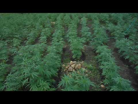 Ganja Farm Jamaica