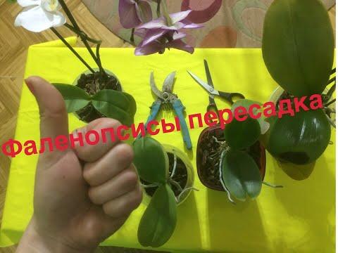 , title : 'Пересадка реанимационных фаленопсисов // Orchid / Orchids /  phalaenopsis / plant transplant