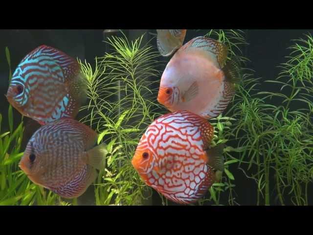 Aquarium Discus   750 litres