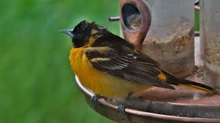 The Baltimore Oriole (Iceterus Galbula) - Feeding, Singing and a Brief Skirmish