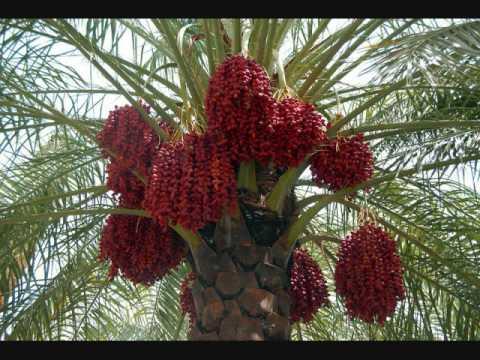 Video Cara Menanam Pohon Kurma dari Biji yang Benar