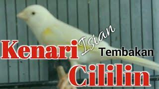 Burung Kenari Isian Tembakan Cililin Gacor Durasi Panjang