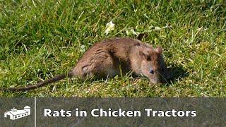 Rats In Chicken Tractors - AMA S12:E1