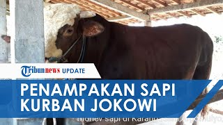 Penampakan Sapi Kurban Milik Presiden Jokowi, Punya Berat 940 Kg dan Dibeli dengan Harga Rp87 Juta