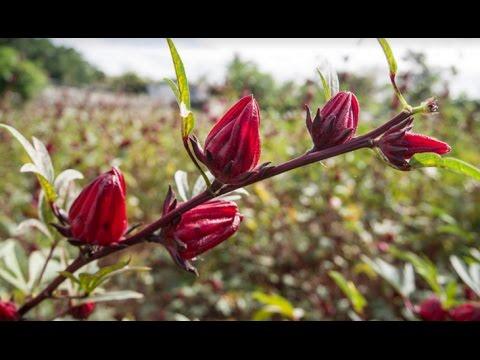Video Cara Mudah Membuat Teh Bunga Rosella