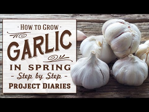 , title : '★ How to Grow Garlic in the Spring (Quick & Easy Tip for all year round Gardening)