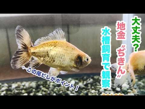 動画で金魚『大丈夫?地金〝ぢきん〟を水槽飼育で観察する…2018年ver』H30.1.19 Goldfish movie from Japan