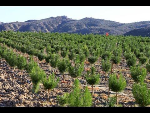 , title : 'Raising Christmas Trees: How A Family-Run Christmas Tree Farm Grows Its Trees