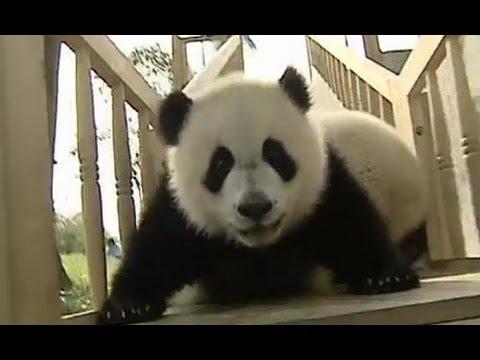 דובי פנדה נהנים במגלשה