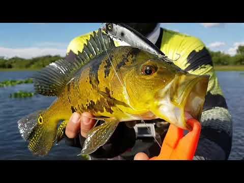 Show de Traíras e Tucunarés em Anaurilandia - MS, Iscas Sun fishing Lures