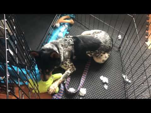 Short Stack, an adoptable Australian Cattle Dog / Blue Heeler in Cleveland, OH_image-1
