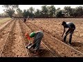 HDPS +DRIP SOWING