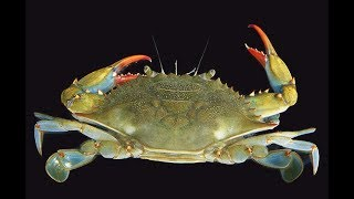 HOW TO Cook BLUE CRABS and Dipping Sauce