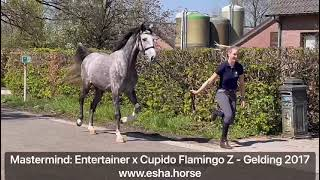 Mastermind: ENTERTAINER x CUPIDO FLAMINGO Z