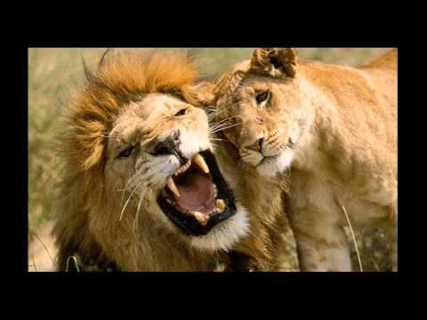 Pow wow le lion est mort ce soir listen watch for Dans jungle terrible jungle le lion est mort ce soir youtube