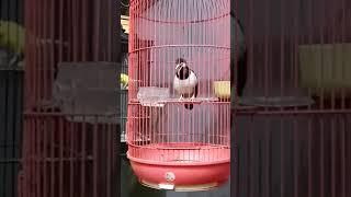 Burung Jalak Suren Gacor Isian Love Bird , Kacer , Kenari , Pleci Dll