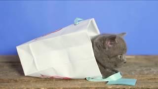 Смешной британский котенок в маленьком пакете - коты и кошки 2019