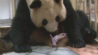 パンダに双子の赤ちゃん 和歌山・アドベンチャーワールド