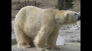 """Inukshuk"" - Huge Polar Bear at Toronto Zoo"