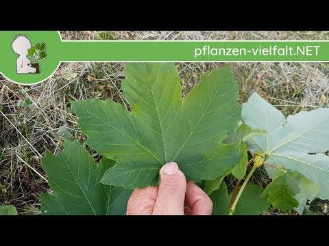 Feldahorn vs. Bergahorn vs. Spitzahorn - Blattvergleich (Unterscheidung/Unterschiede) - 09.05.18