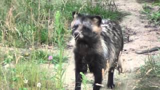 Jenoty - Raccoon dogs - Marderhunde