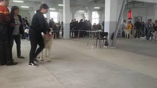 Бугай Алабай. Выставка собак 27 октября в Благовещенске. Ринг САО судья Харатишвили Н