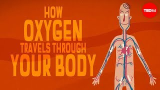 Enda Butler & Addison Anderson - Oxygen's Surprisingly Complex Journey Through Your Body